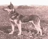 Duitse Herder teef